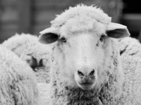 Here's where the raw material for Farm To Feet socks originate: Merino sheep who live in Wyoming. Credit: Farm To Feet