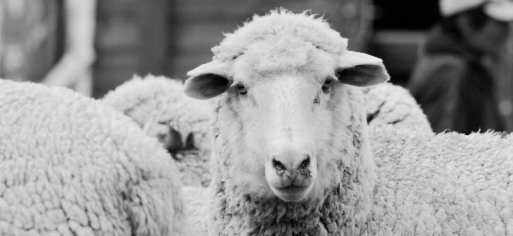 Here s where the raw material for Farm To Feet socks originate  Merino  sheep who live 85f033f9a6b4