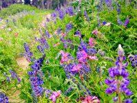 Campground Trail's wild flowers. Credit: Maura Olivos