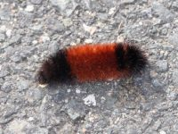 Wooly Bear caterpillar may predict snow. Then again, they may not. Credit: Harriet Wallis