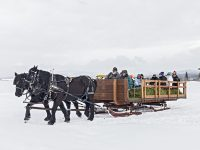 Sleigh pulled by percheron horses takes people out to help feed elk in Donnelly, ID, near McCall. Light snowfall speckles the scene. The Points family has been feeding wild elk on their land to help them survive winter for three generations. Credit: Yvette Cardozo